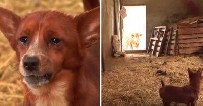 hund, ko, återförening